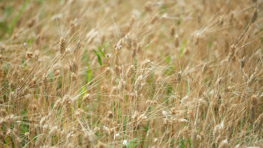 Wheatfield in Milan spans 12 acres of land in the city