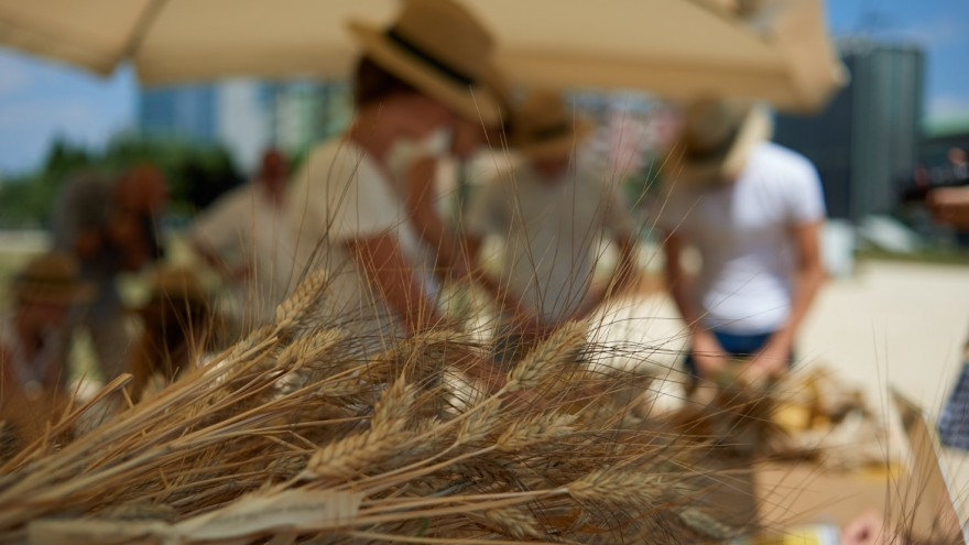 Harvesting of the wheat event in Milan