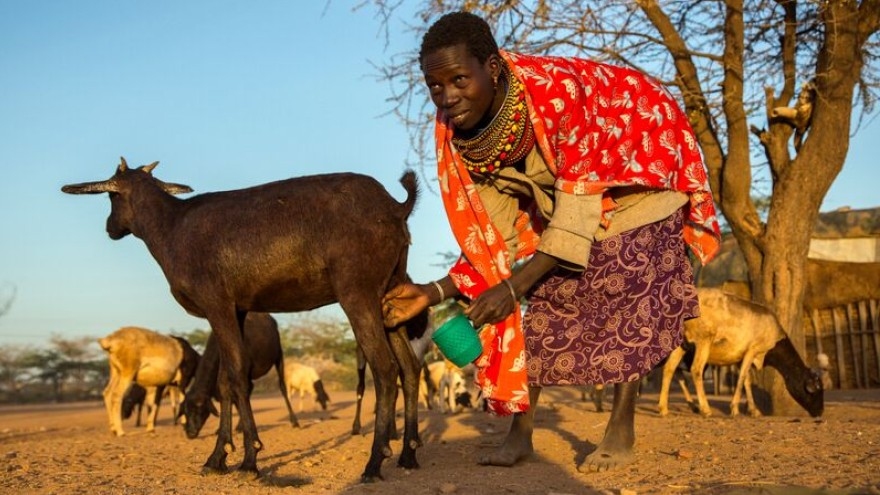 Norkorchom, 24 from Turkana to the north collects goats milk for her morning tea.