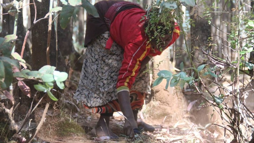 Like other wood carriers, Kebebush collects leaves and fallen branches