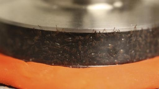 Ants were put in a rheometer to test their solid-like and liquid-like response to pressure.
