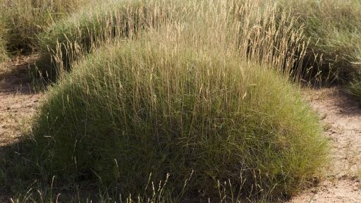 Spinifex - The University of Queensland.