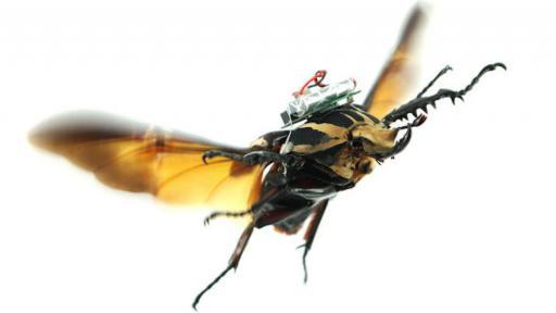 Cyborg beetles