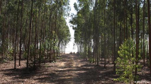 Egyptian forest plantations