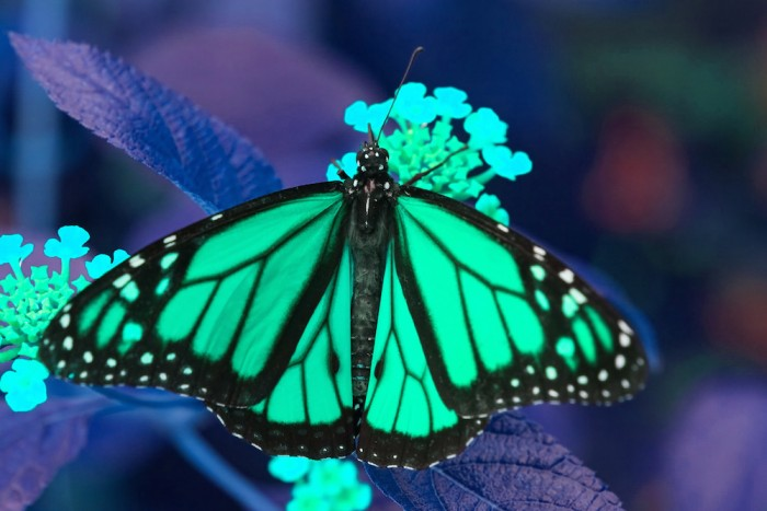 The Butterfly Effect – a walk-through tropical butterfly experience that tells the story of the unsung heroes of pollination in the context of global food security concerns