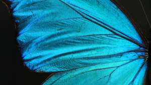 The wing surface of the Morpho butterfly. Courtesy of the Biomimicry Institute.