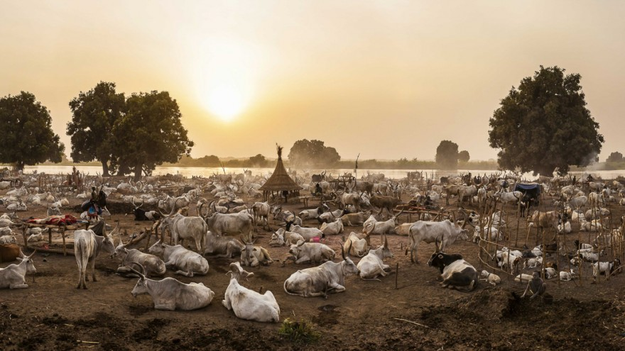 A panorama of a Mundari settlement in the early evening when the cows have returned from grazing. Image:© Tariq Zaidi / ZUMA Press