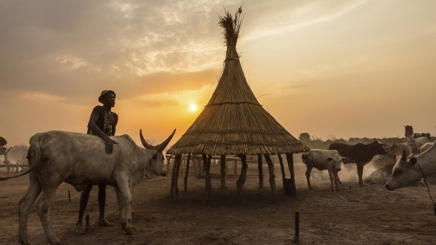 A man washing his cow in ash to protect it from insects during the night. The reed hut is for lambs to shelter under. Image:© Tariq Zaidi / ZUMA Press