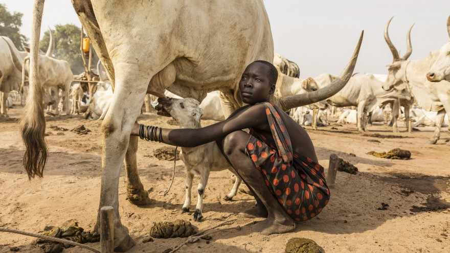 A Mundari girl helps a lamb to suckle on a cow's teat. It is not just the Mundari people who benefit from the cow's milk. Image:© Tariq Zaidi / ZUMA Press