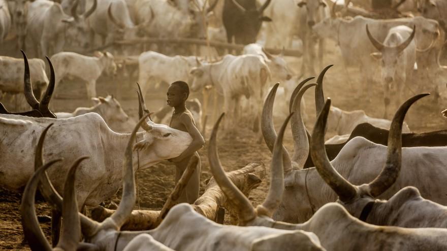 A young Mundari boy holds his precious Ankole-Watusi cow in the middle of the camp. Image:© Tariq Zaidi / ZUMA Press