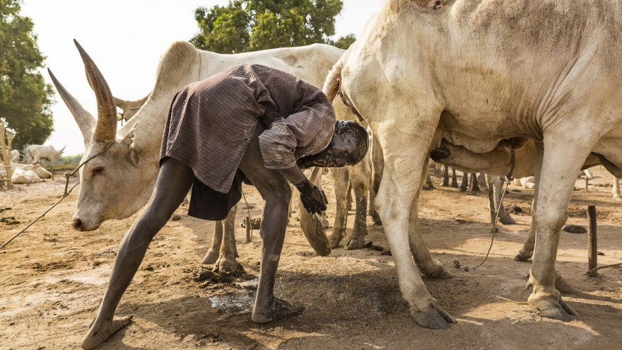 A Mundari man takes advantage of the antibacterial properties of the cow's urine. An extra benefit is that ammonia in the urine will dye his hair orange. Image:© Tariq Zaidi / ZUMA Press