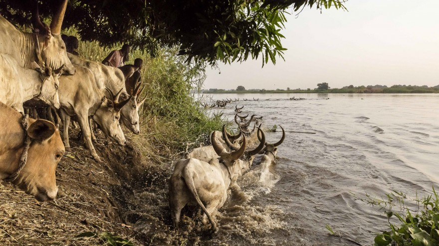 The Mundari encourage their cattle to cross the Nile to get to an island where they will graze for the next few months. Image:© Tariq Zaidi / ZUMA Press
