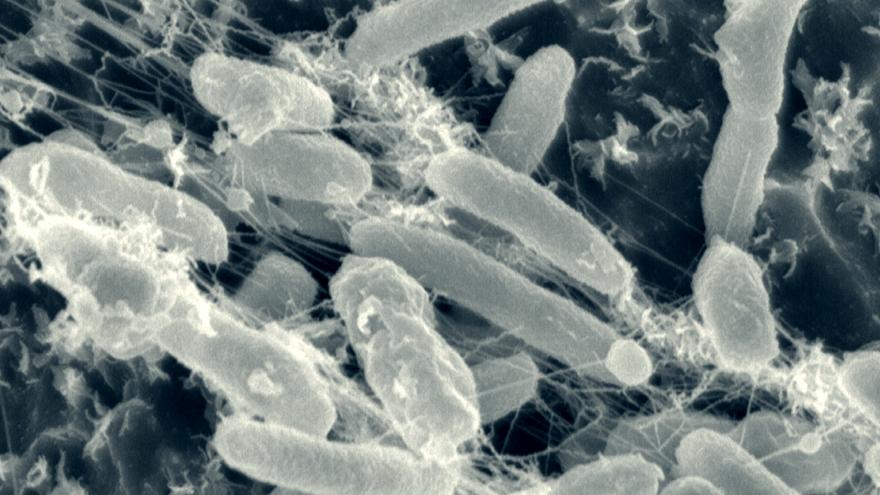 Bacterium eating plastic