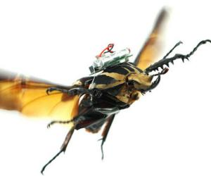 Cyborg beetles