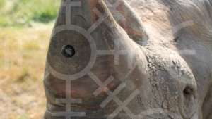 Catching poachers on a rhino-cam