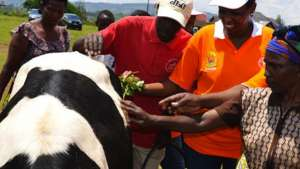 Rwandan genocide survivors received cows from the government but were unable to sell their milk at the local market until Chantal Butare came along. Image: minagri.gov.rw